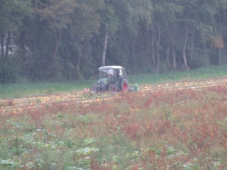 Windrowing pumpkins  in the rain