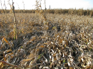 Another field of downed corn